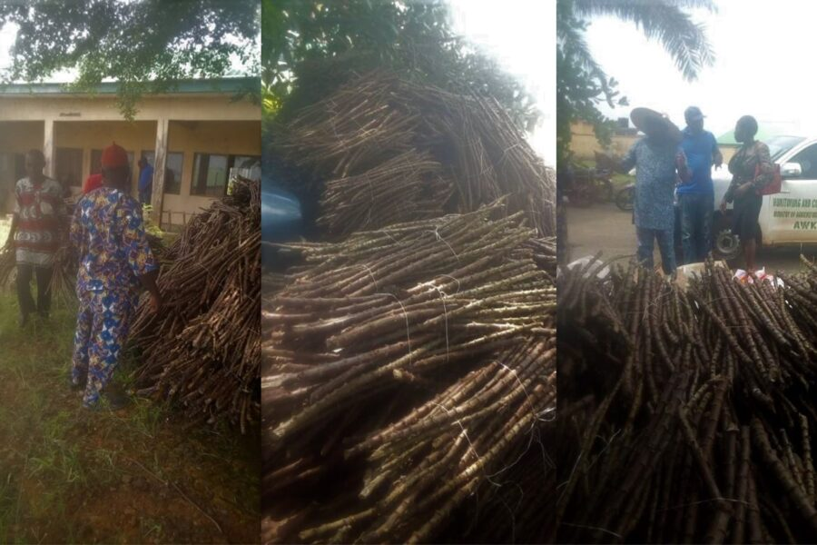 Cassava sticks to be distributed to beneficiaries